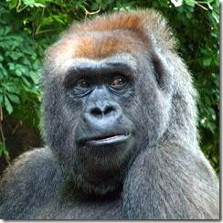 gorilla-2-bronx-zoo%255B4%255D