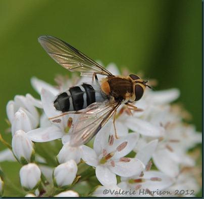 Hoverfly-Leucozona-glaucia