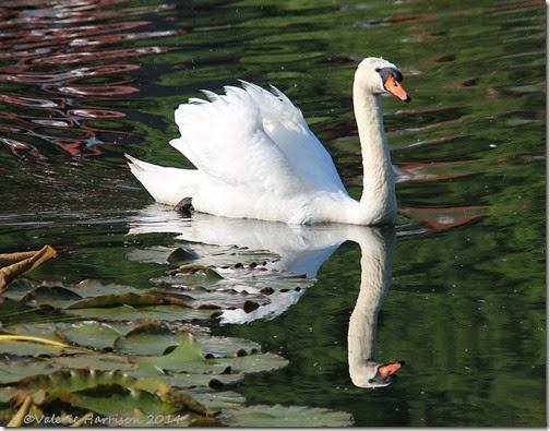 35-mute-swan
