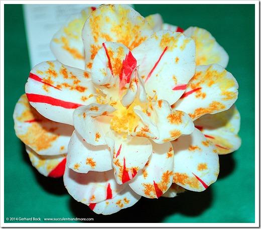 140302_Camellia_Society_Sacto_Show_035