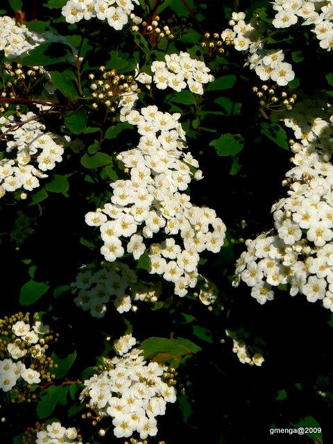 Julesvernehorticulture les arbustes floraison printani re - Arbuste fleurs blanches feuillage persistant ...