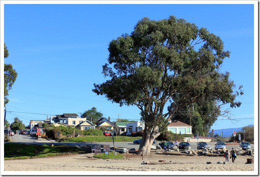 121028_SantaCruz_giant_eucalyptus