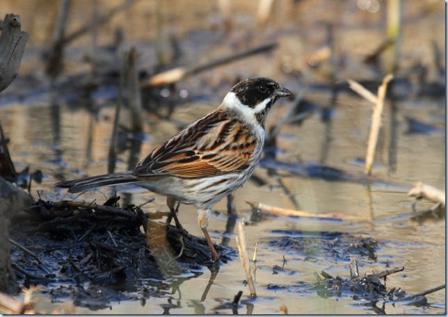 reed_bunting_male