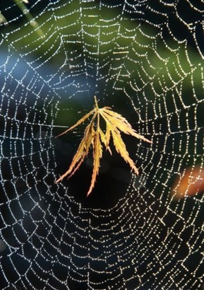 593434_Lace-Maple-Leaf--Spider-web