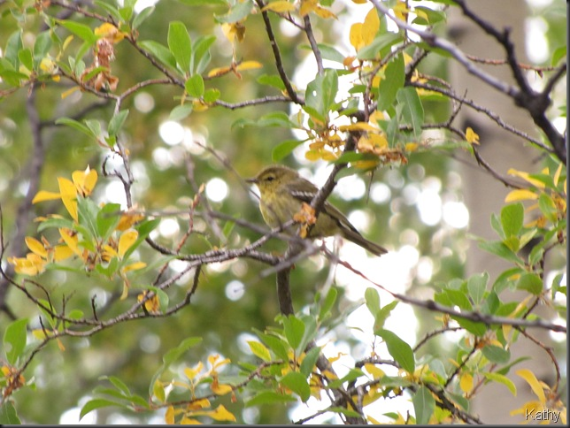 Young Blackpoll Warbler