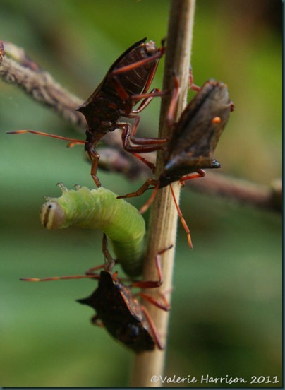 7-spiked-shieldbugs-eating-caterpillar