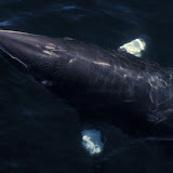 Minke whale