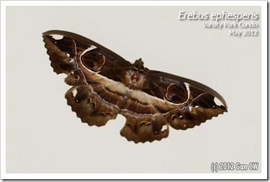 Erebus ephesperis -20120502_D01
