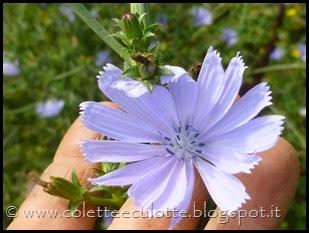 Cichorium intybus (4)