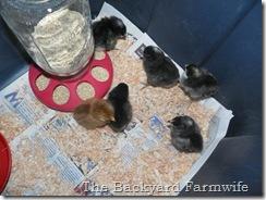 new chicks 01