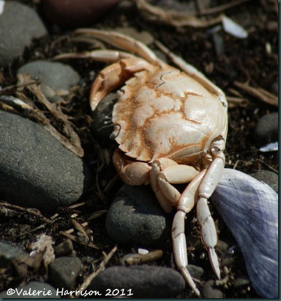 16-dead-crab