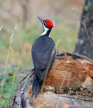 woodpecker_133