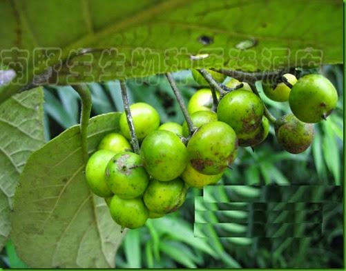Erehtia corylifolia