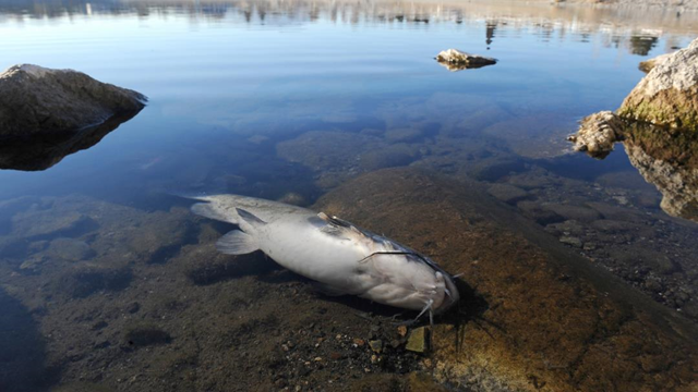 A dead catfish lies on the east shore of the Sparks Marina in Sparks, Nevada, on Wednesday, 15 January 2014. Photo: Scott Sonner / Associated Press