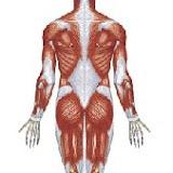 musculos costas.jpg