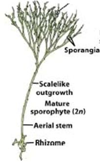 Psilotum sporophyte