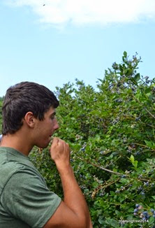 Are you picking blueberries or eating them??!!