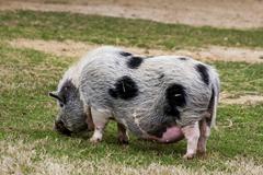 kunekune pig exotic game park spring