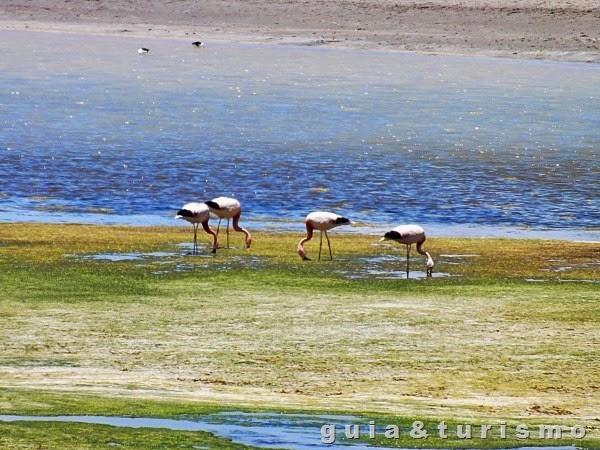 Salar de Tara - Flamingos