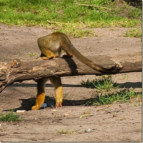 monkey-1-6
