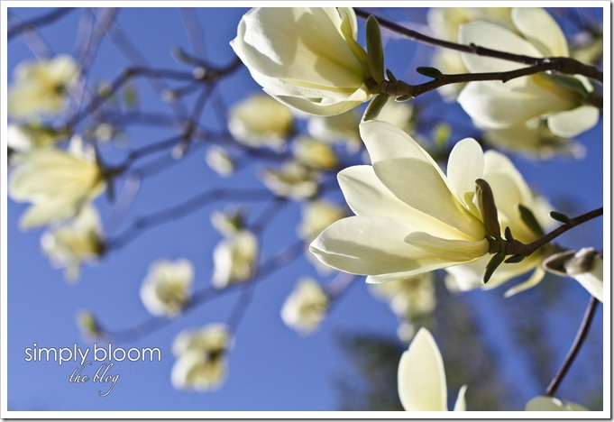 magnolias (1 of 1)