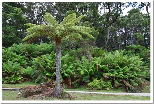 100104-Sarah-Island,-Tasmania,-tree-ferns_18