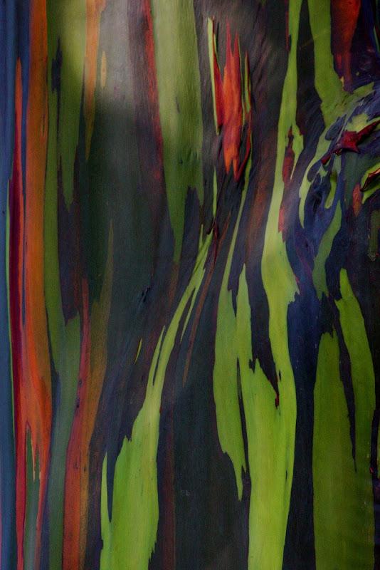 rainbow-eucalyptus-6