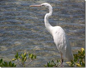 Key West Common Egret