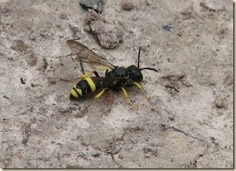 20120801 BHW solitary wasp (42)