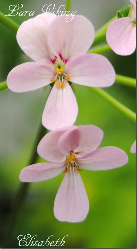 Pelargonium juli -11 006