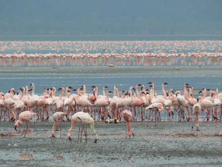 Safari: Flamingoes