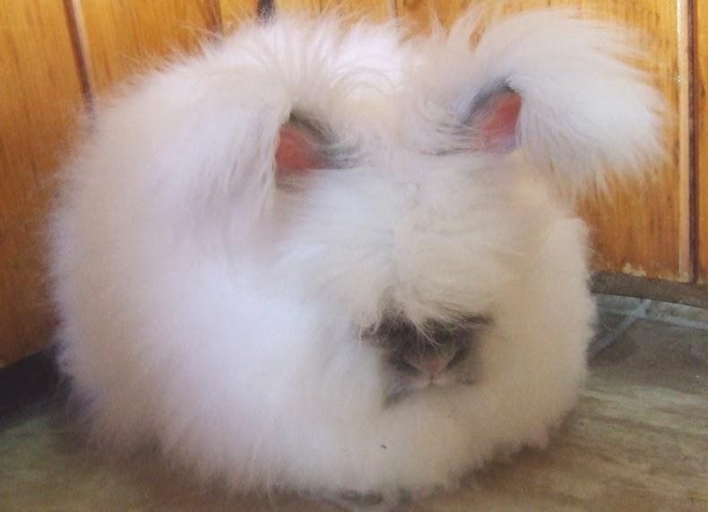 angora-rabbit-12