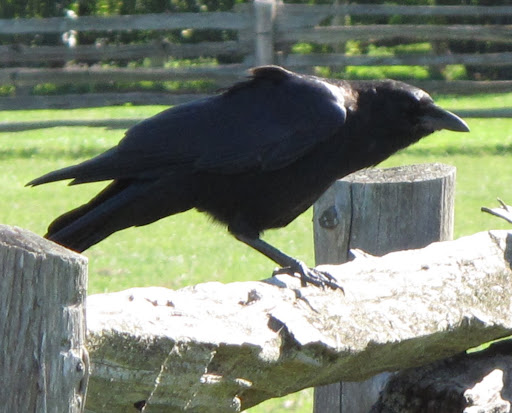 4 - But, in reality, crows are very, very intelligent creatures.  In fact, they are considered to be the most adaptable and intelligent birds in the world.