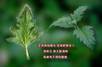 肺炎草4-葉