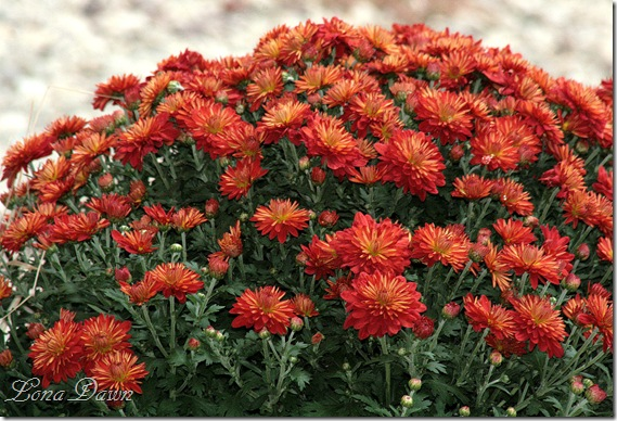 Chrysanthemums_Rust