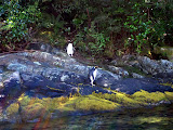 South Island - Milford Sound - Crested Penguin