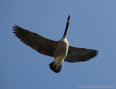 A goose flying overhead