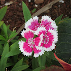 Sweet William Dwarf