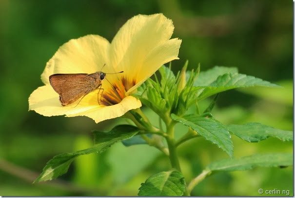 dart feeding on turnera flower