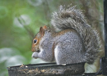 squirrel-snow-on-tail