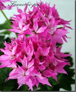 Pelargonium juni-11 061
