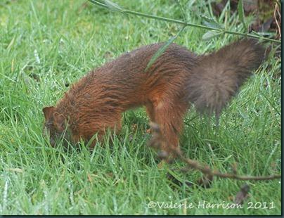 squirrel-burying