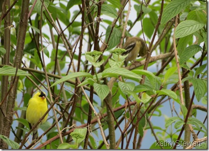 Goldfinch in the bushes
