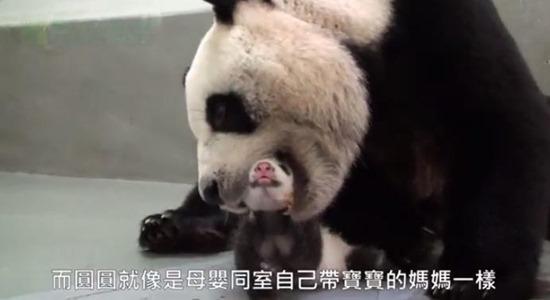 Bebê Panda Gigante 06