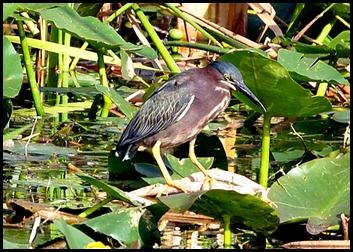 03b - Green Heron