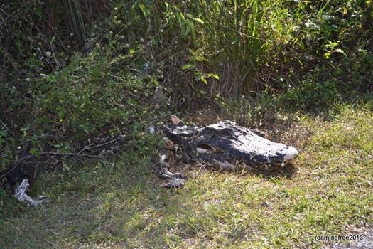 Poor dead gator
