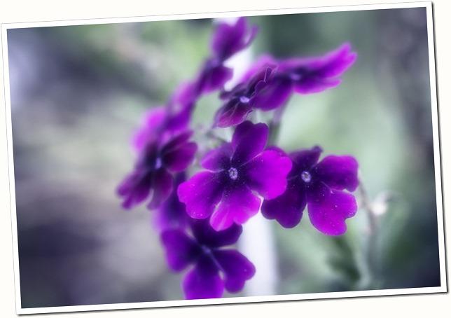 purple annual