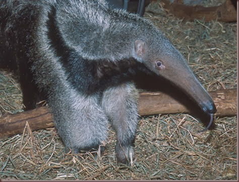 Amazing Animals Pictures Anteater (13)