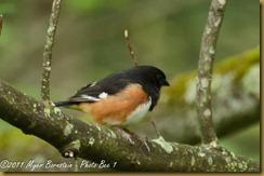 Eastern Towhee _D074173West Virginia  May 02, 2011 NIKON D7000