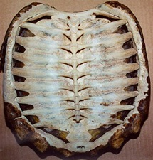 tortoise-shell-1